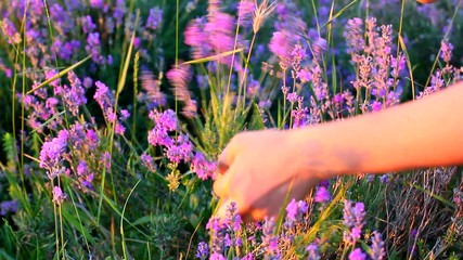 hands gathering lavender plants in a field
