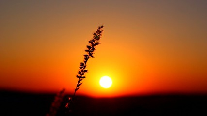 sunset over fields. wheat at dawn