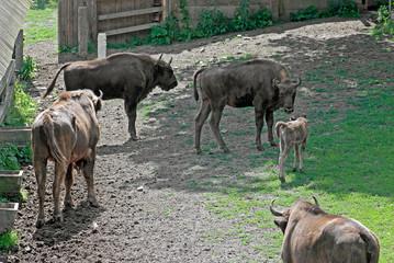 European Bison - (Bison bonasus)