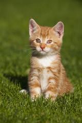 Deutschland, Bayern, Kätzchen sitzt im Gras