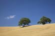 Italien, Toskana, Bäume auf abgeernteten Maisfeld