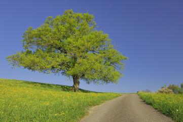 Schweiz, Eiche Baum im Feld