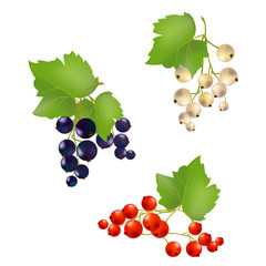 set currant berries