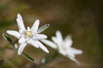 Österreich, Edelweiss (Edelweiß)