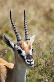 Portrait of Thomson's gazelle