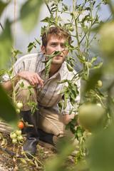 Mann im Gewächshaus, Tomatenpflanze