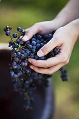 Kroatien, Baranja, Junge Frau, die Ernte der Trauben, close up