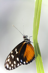 Heliconius ismenius auf Blatt