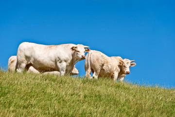 Vaches charolaises dans un pré
