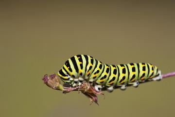 Deutschland, Bayern, Raupe des Schwalbenschwanz (Papilio machaon) auf Pflanzen Stengel