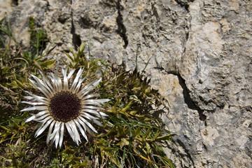 Österreich, Tirol, Stemless Carline Thistle (Carlina acaulis)