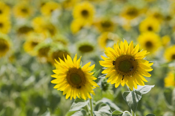 Italien, Toskana, Sonnenblumen, close up
