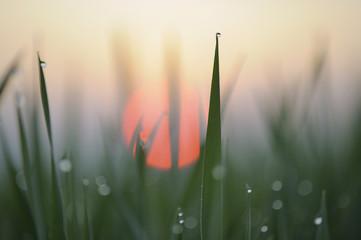 Deutschland, Bayern, Sunrise, Tautropfen auf Mais Blätter