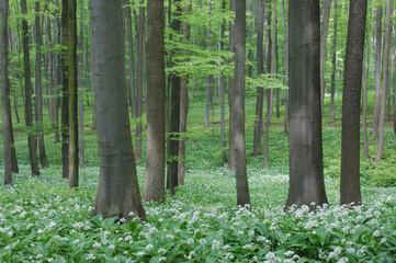 Bärlauch (Allium ursinum) in Buchenholz