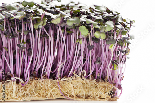 Growth purple garden cress isolated on a white background