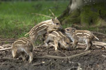 Junge Wildschweine (Sus scorfa)