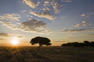 Afrika, Botswana, Umbrella-Thorn Tree (Acacia tortilis) bei Sonnenuntergang