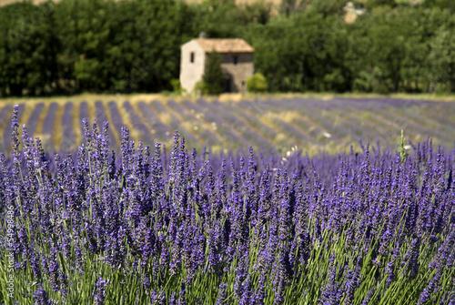 Frankreich, Provence, Auribeau, Lavendelfelder, Steinhaus im Hintergrund