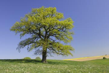 Deutschland, Mecklenburg-Vorpommern, Eiche (Quercus spec.) auf der Wiese
