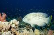 Young Napoleon fish underwater