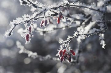 Österreich, Salzburger Land, Schneebedeckter Strauch mit roten Beeren