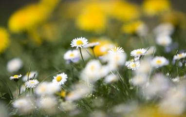 Daisies (Asteraceae)
