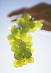 Frankreich, Burgund, Hände halten Weintraube