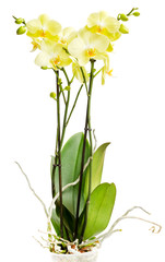 Yellow orchid on a white background