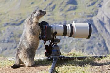 Österreich, dem Großglockner, Alpine Marmot (Marmota) Murmeltier stehend von der Kamera