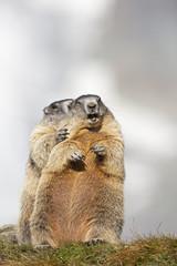 Österreich, Alpine Murmeltiere (Marmota)