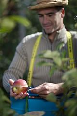 Kroatien, Baranja, Junger Mann Messung Apfel während der Ernte