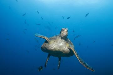 Galapagos Inseln, Ecuador, Echte Karettschildkröte (Eretmochelys imbricata)