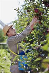 Kroatien, Baranja, Junger Mann, Äpfel aus einer Apfelplantage