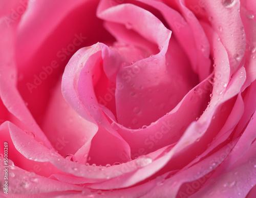 Pink rose bud macro © PaulPaladin