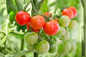 Tomates cerises dans un potager