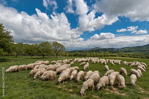 A flock of sheep grazes on a green field in Tuscany, Italy.
