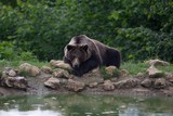 Brown bear resting near a pond into the forest mountains