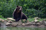 Brown bear standing near a pond