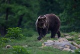 Carpathian brown bear walking to the forest