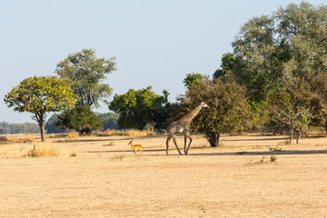 Thornicroft giraffe and puku in the savannah