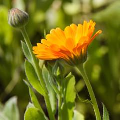 Ringelblume - healing plant - Calendula