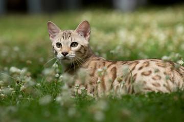 Snow Bengale liegt im Gras