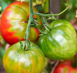 red and green tomatoes in the garden