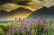 Purple Lupines in the Tetons - 55016403