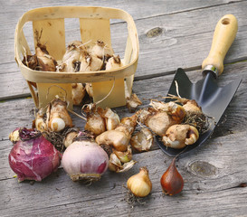 Bulbs, basket and shovel on the wooden table.