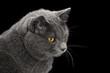 british shorthair cat looking back