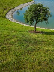 Single small tree next to pond with green grass