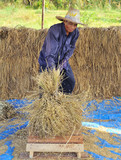 The traditional way of threshing grain in Thailand.