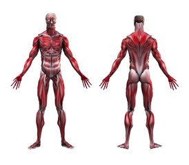 Male Musculature