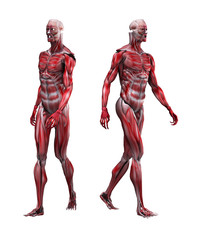 Male Musculature Walking